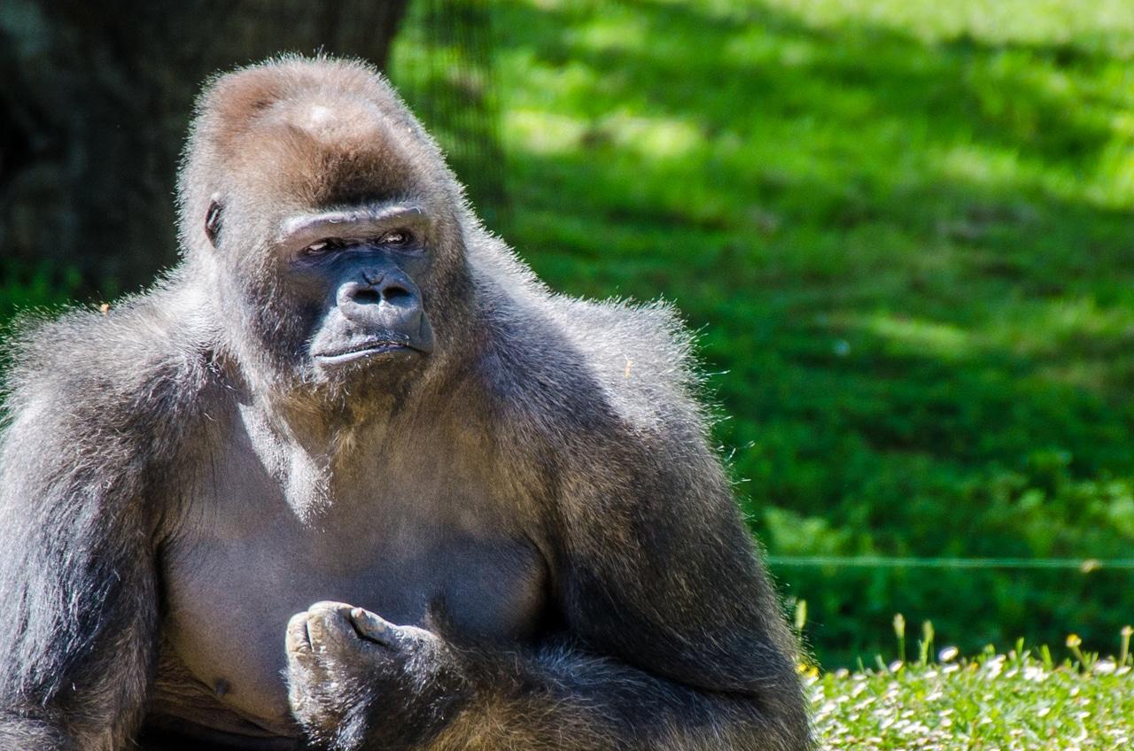 anekdoto enas gorilas sto syntagma arpazi ena pedi epiko gelio