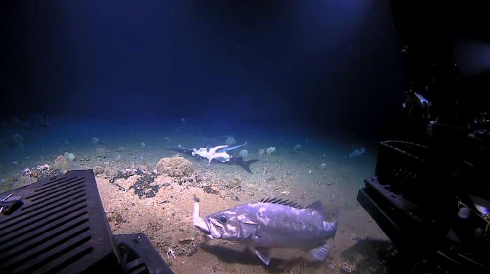 Ροφός καταπίνει ολόκληρο καρχαρία