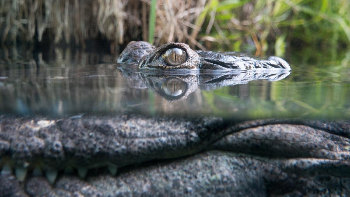 skylos pezi se vrachakia konta se potami otan enas krokodilos xafnika viral vinteo