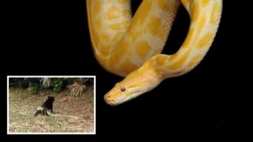 viral video i foveri machi gia na sosoun ton skylo tous apo tin dynami enos pythona