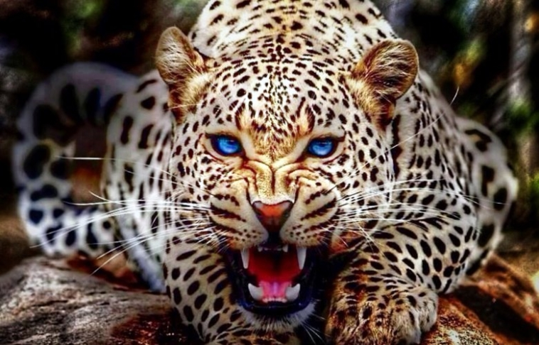 λεοπαδρδαλη