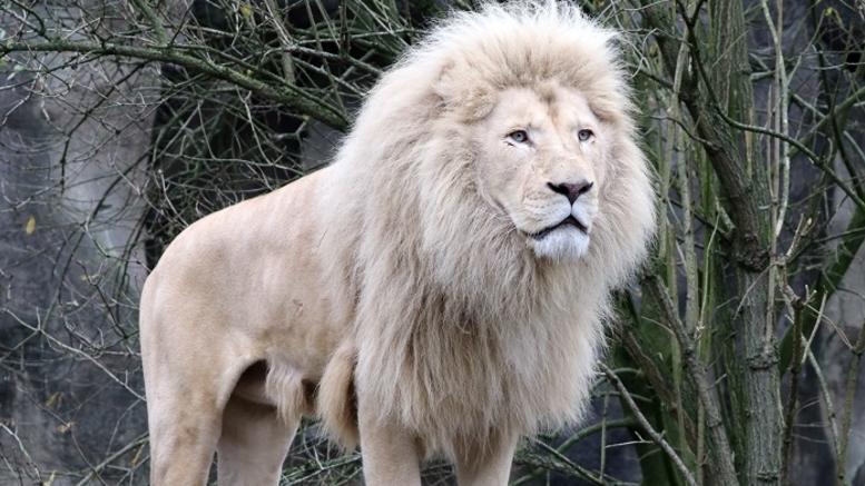λιονταρι