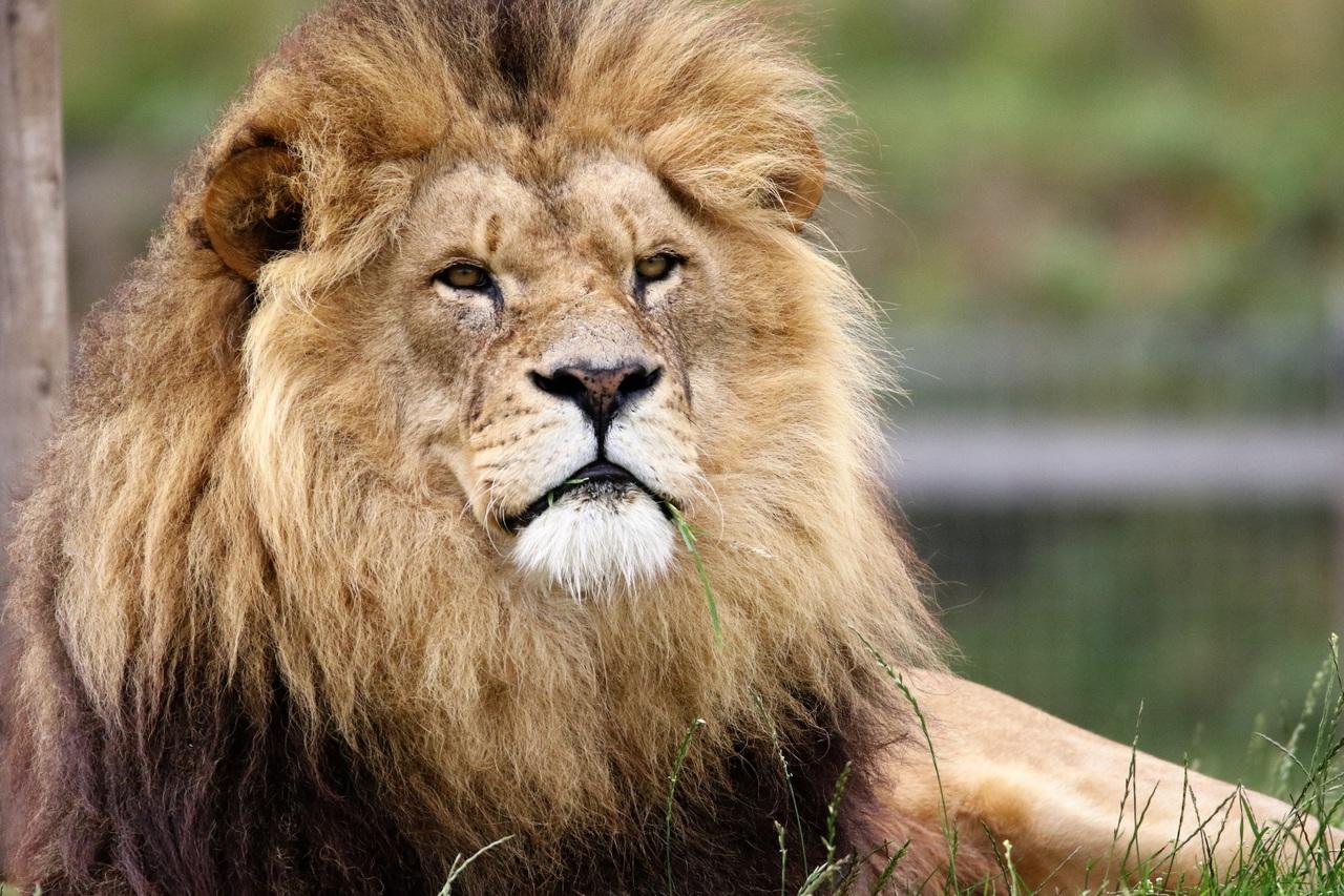 viral video epiki machi liontariou me tigri