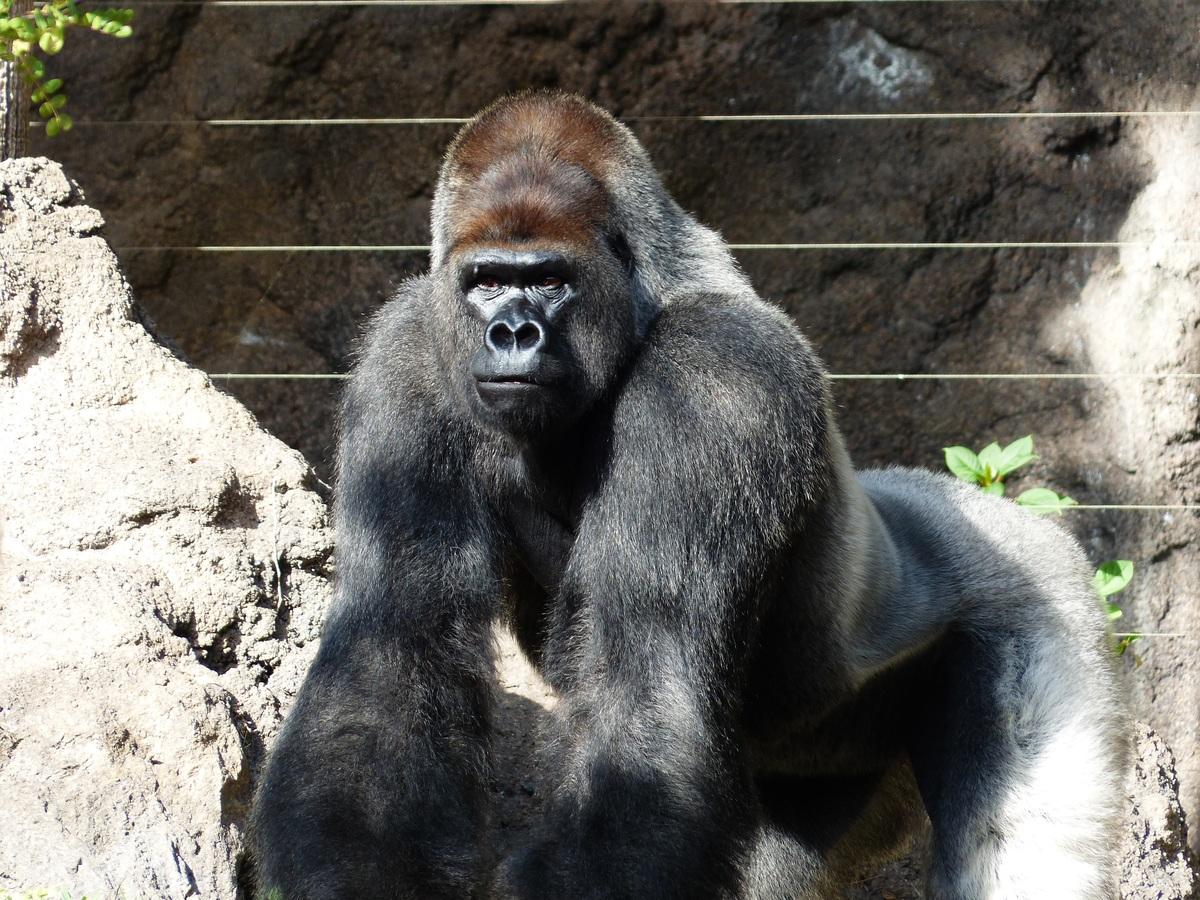 viral video gorilas bouketoni gorila agrio xylo epiki machi thirion