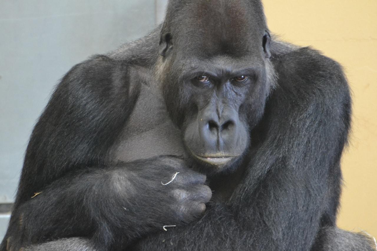 anekdoto pefti enas ston amazonio ke emfanizete enas terastios gorilas pou tou lei echis dyo epiloges epiko gelio
