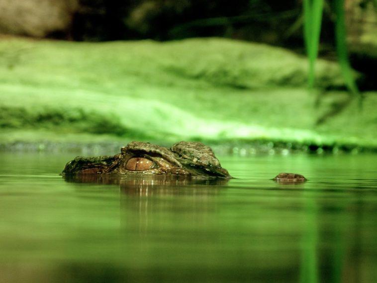 viral video krokodilos echi klidosi sta sagonia tou karcharia ke ton vgazi stin akti entromi i psarades