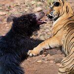 viral vinteo machi titanon arkouda lioni tin tigri pou epitethike sto pedi tis frikti machi