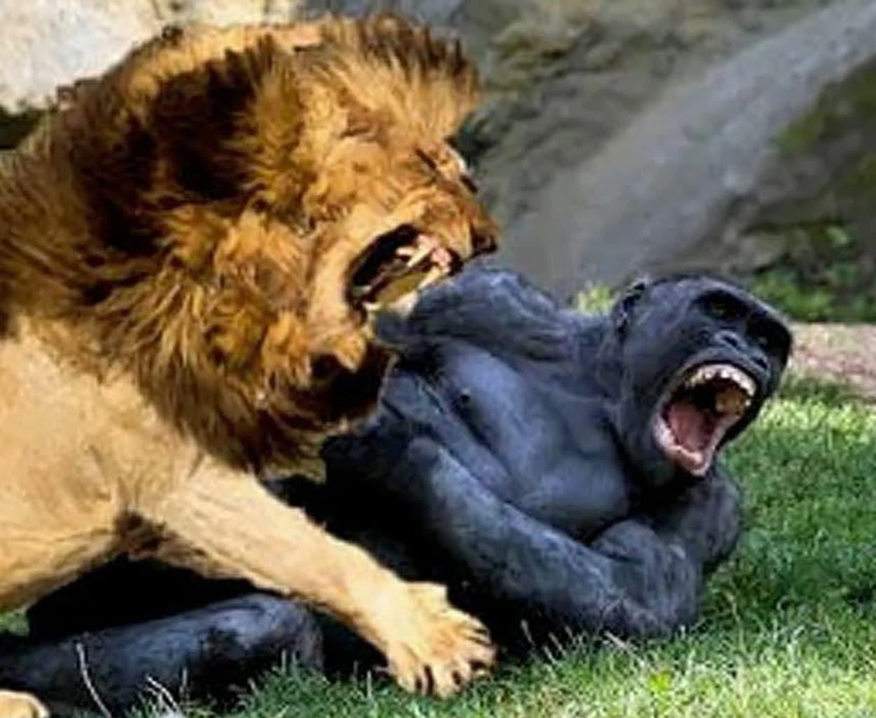 viral video agria machi gorila me liontari me aprosmeno nikiti antechis