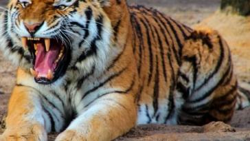 viral vinteo opios den antechi min to di agries tigris katasparazoun andra brosta sto pedi tou