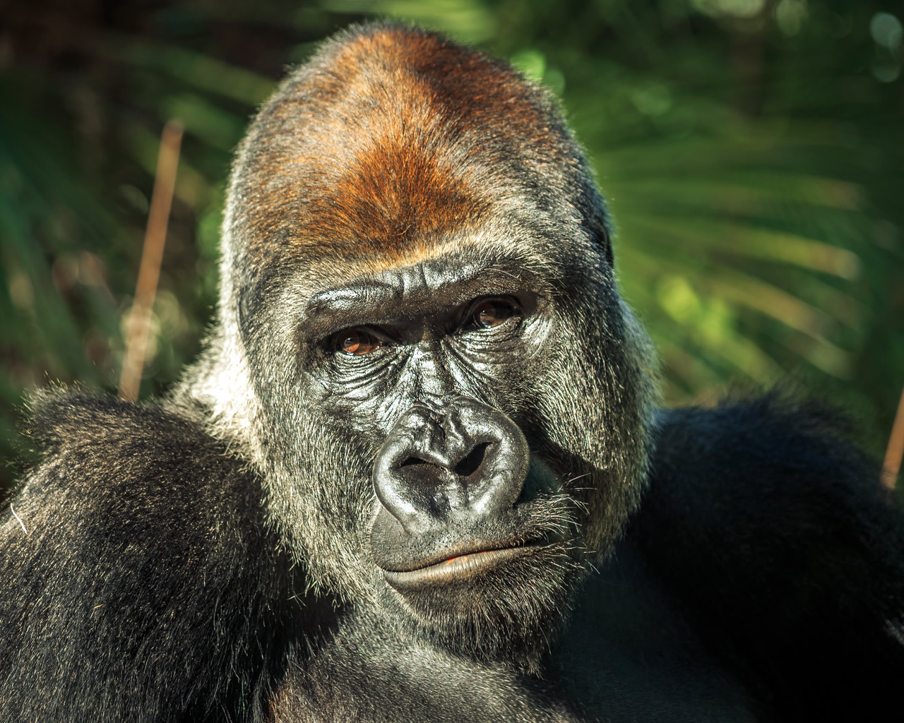 anekdoto i giagia i pyrosvestiki ke o gorilas fovero gelio