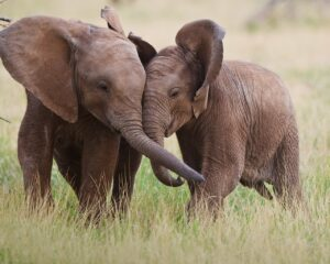 anekdoto posoi elefantes chorane se ena volks vagken epiko gelio