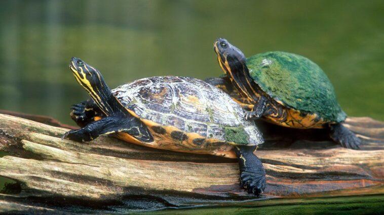 ΑΝΕΚΔΟΤΟ: Δυο χελώνες μετά απο ένα πανηγύρι τρακάρουν! Επικό γέλιο